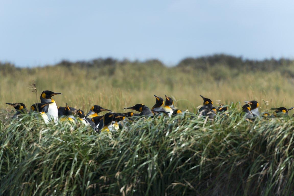 Pingüinos en Parque Pingüino Rey